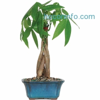 ihocon: Money Tree Bonsai Tree