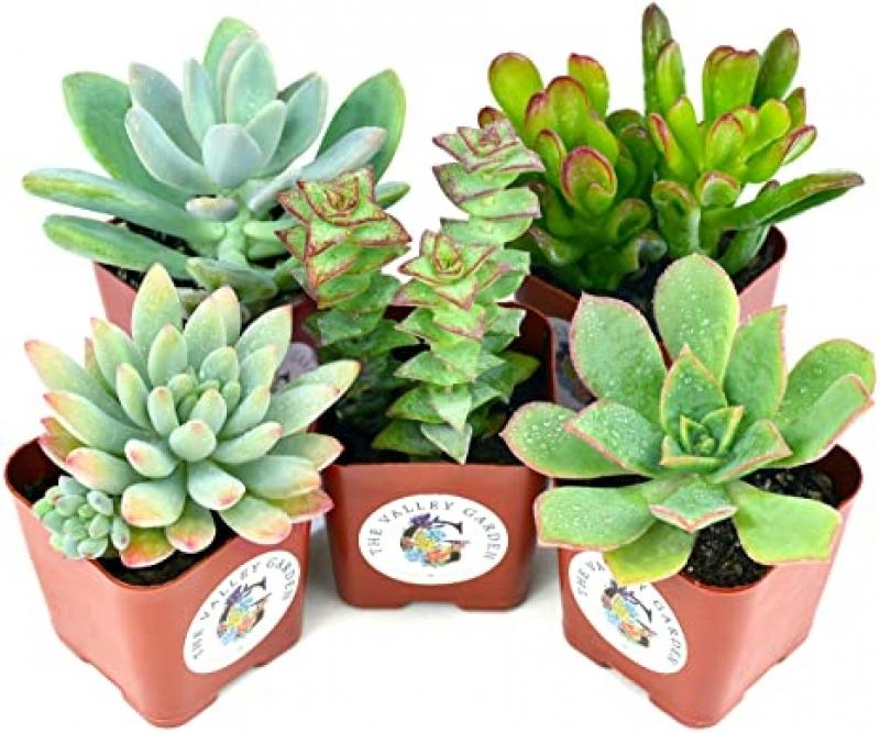 ihocon: Succulent Plants 5-Pack 多肉植物5盒(2吋盆)