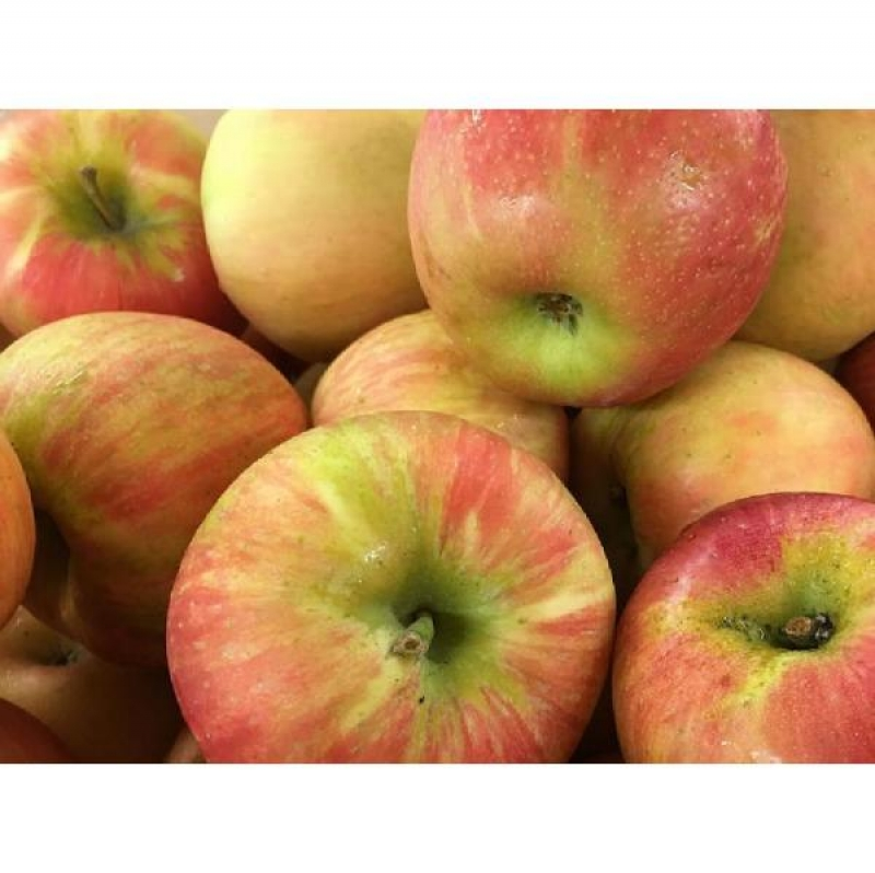 ihocon: Online Orchards Dwarf Honeycrisp Apple Tree Bare Root 矮種裸根蘋果樹